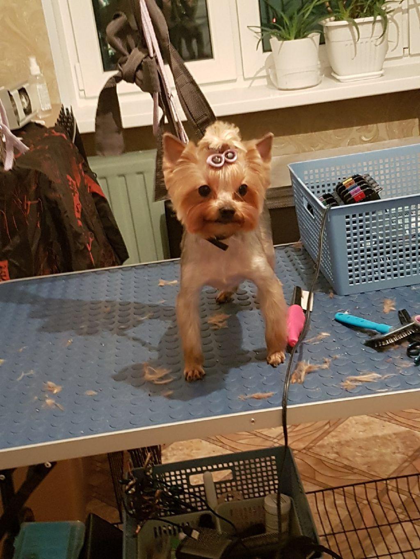Стрижка собак Колпино, стрижка йорка.